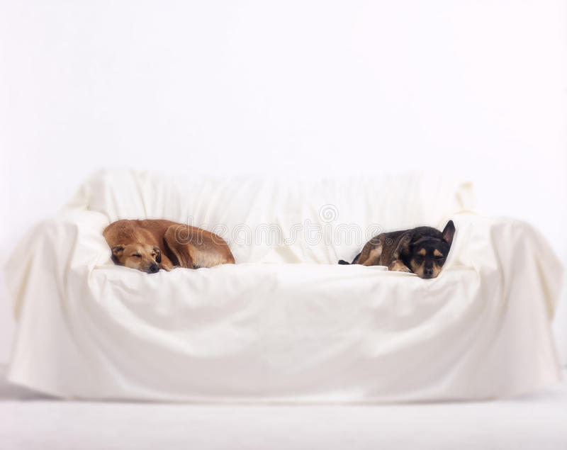 Greyhound and terrier dogs sleeping on sofa on white background stock images