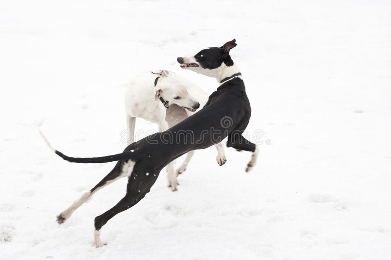 greyhounds δύο νεολαίες στοκ φωτογραφία με δικαίωμα ελεύθερης χρήσης