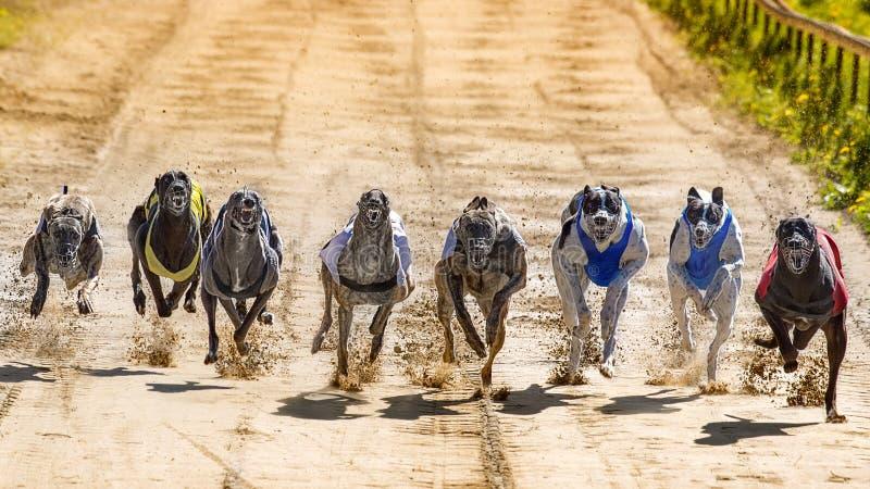 greyhounds foto de stock royalty free