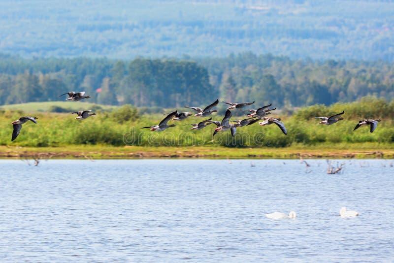 Download Greylag鹅群 库存照片. 图片 包括有 火箭筒, 森林, 场面, 被扭伤的, 野生生物, 展望期, 风景 - 59112078