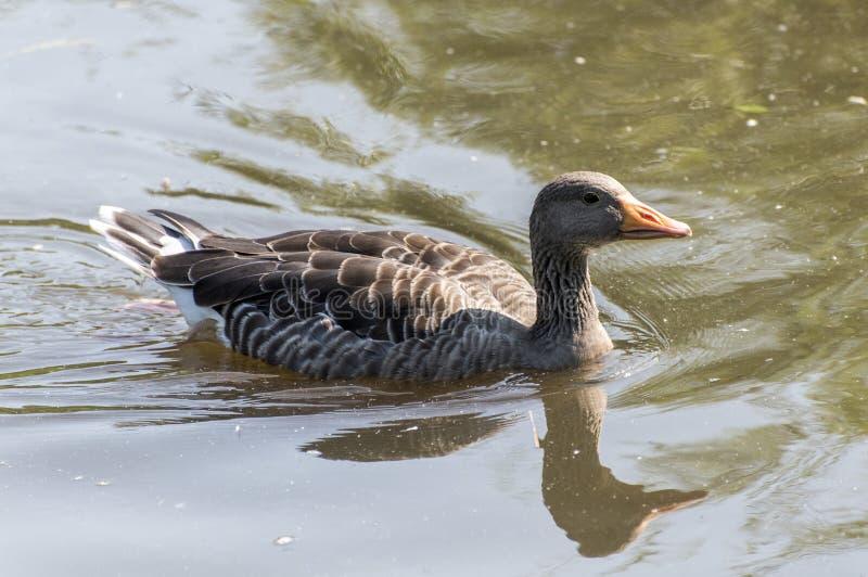 Greylag che nuota su un lago con le riflessioni immagine stock