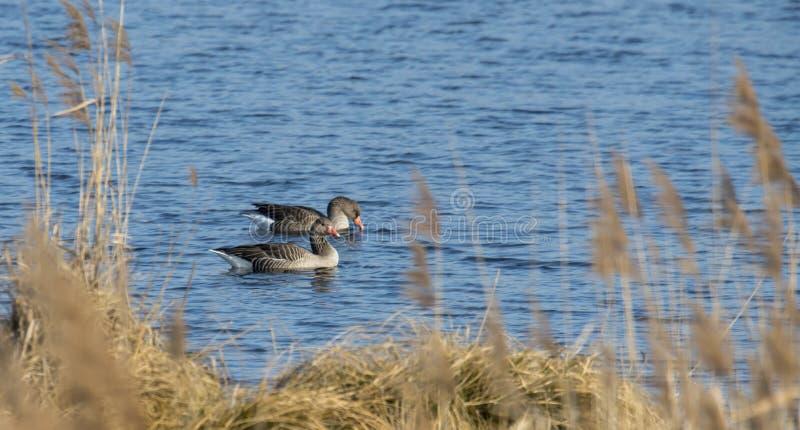 Greylag galleggia davanti alla canna marrone con abbondanza dello spazio del testo su un lago calmo immagini stock