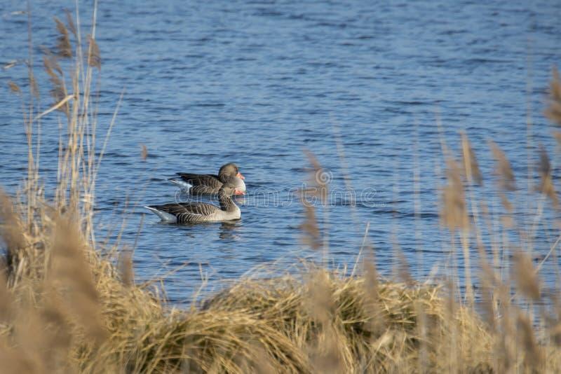 Greylag galleggia davanti alla canna marrone con abbondanza dello spazio del testo su un lago calmo fotografia stock