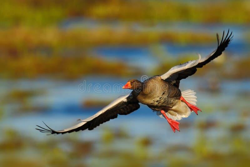 Greylag Gans, Anser anser, vliegende vogel in de aardgewoonte, actiescène met open vleugels, Swden royalty-vrije stock fotografie