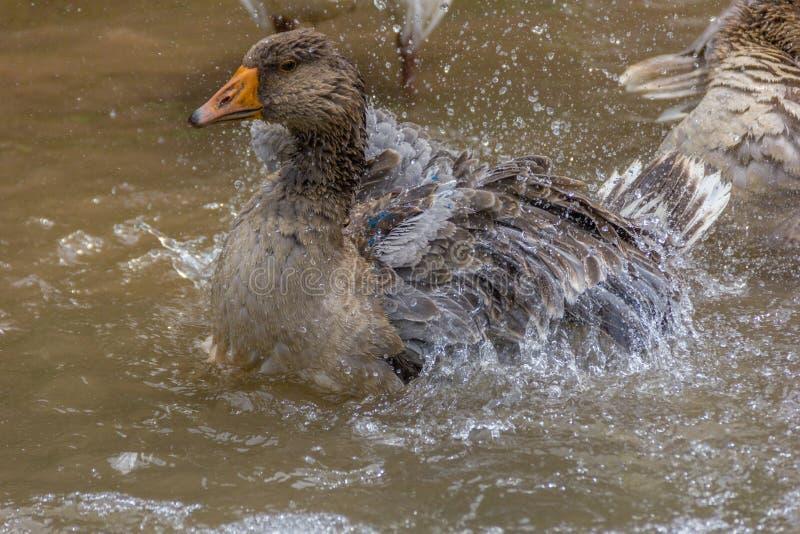 Greylag gans die en in het water gladstrijken bespatten royalty-vrije stock foto