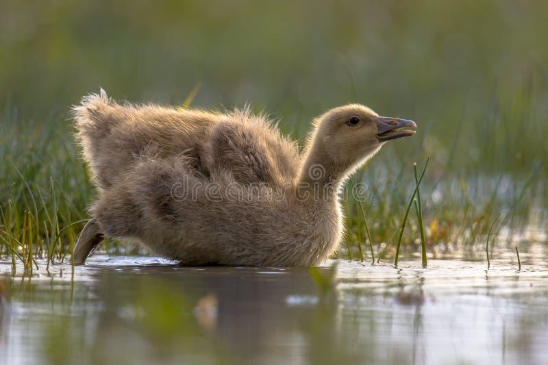 Greylag ganskuiken die koud water ingaan royalty-vrije stock fotografie