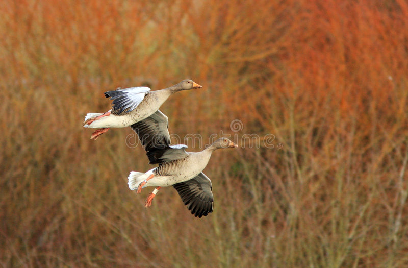 Greylag Geese. A pair of Greylag geese glide into land at the Wildfowl and Wetland Trust Reserve at Caerlaverock in South West Scotland, UK royalty free stock image
