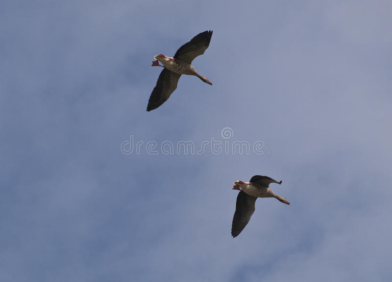 Download Greylag Geese Stock Images - Image: 32156214