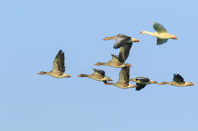 Greylag geese Anser Anser migrating royalty free stock photos