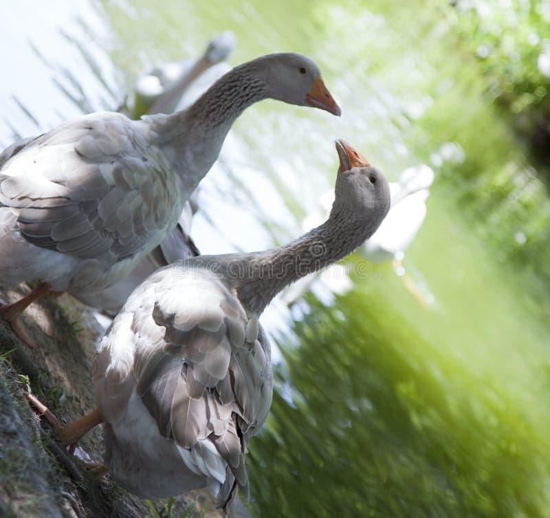 Greylag Geese. & x28;Anser anser& x29; near pond royalty free stock photography