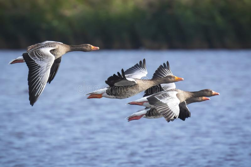 Greylag geese Anser Anser in flight migrating royalty free stock photography