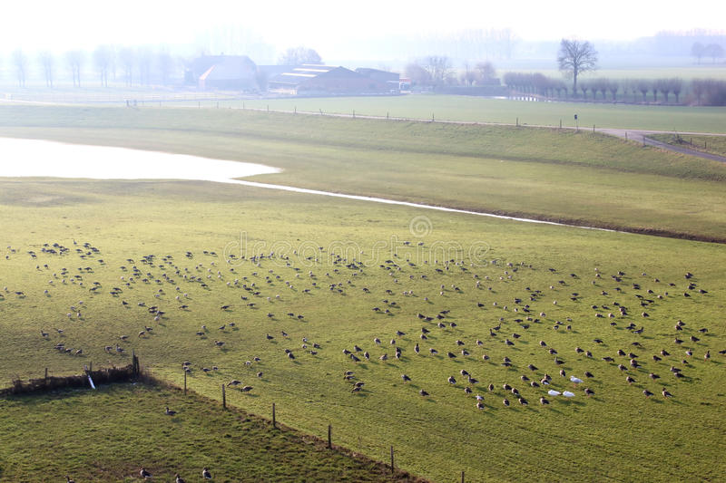 Greylag geese in dutch river landscape, Brummen royalty free stock photography