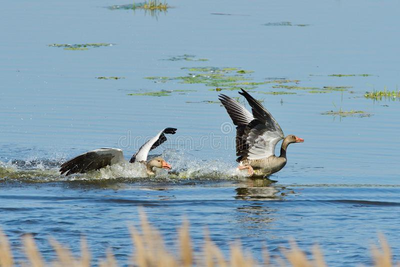 Greylag geese family in spring royalty free stock photos