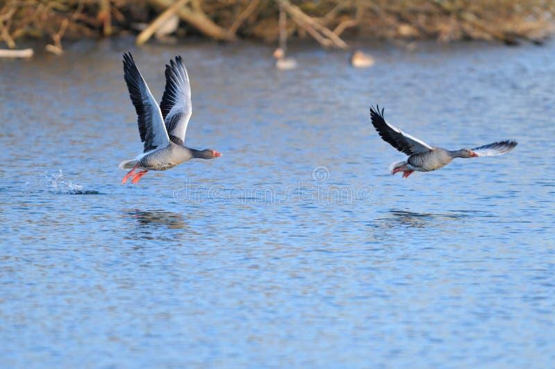 Greylag Geese in flight stock image