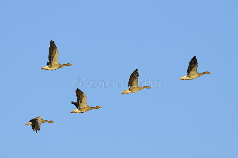 Download Greylag Geese In Flight Stock Image - Image: 36988631