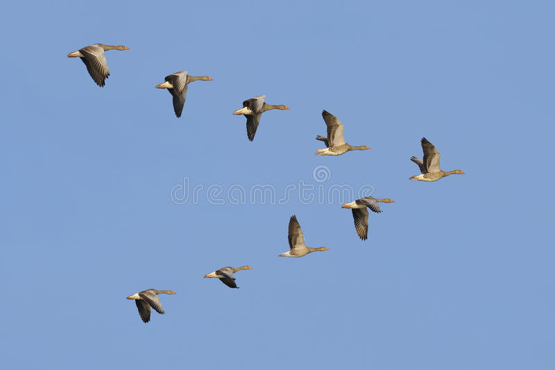 Greylag Geese in flight royalty free stock photos