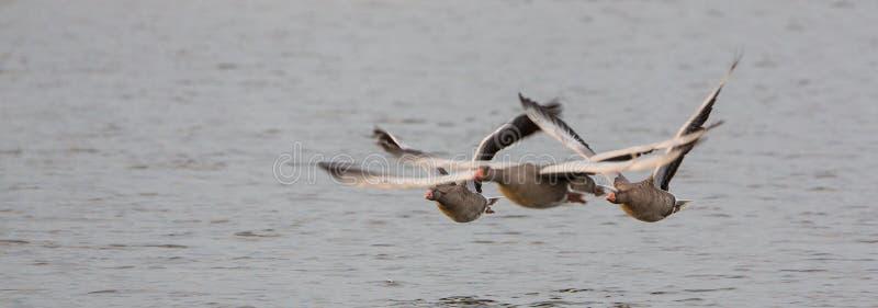 Greylag Geese flock in flight royalty free stock image