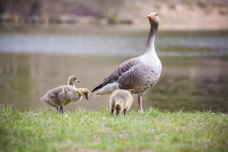 Greylag geese and its young stock images