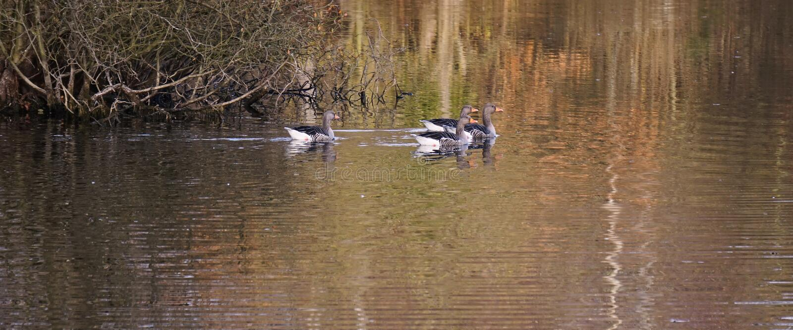 Greylag geese. stock images