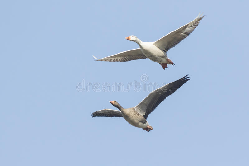 Greylag geese migrating stock photo