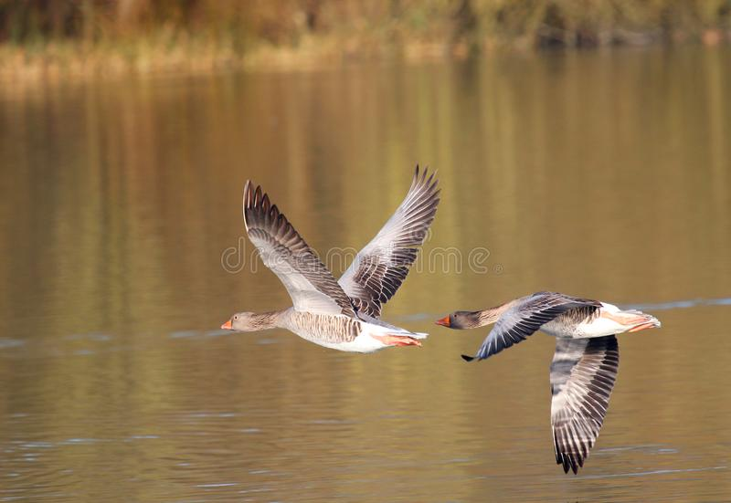 Greylag geese pair flying together. Anatidae. A pair of greylag geese that pair for life taking off up in formation from a lake. They are always together until