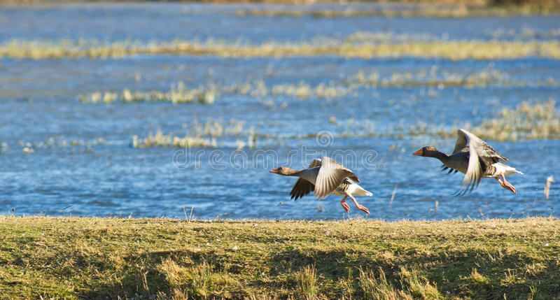 Greylag Geese taking off royalty free stock photos