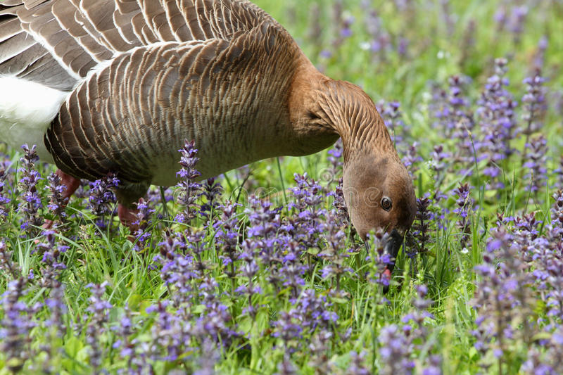 Download Greylag goose stock photo. Image of hunting, pecks, looking - 14286940