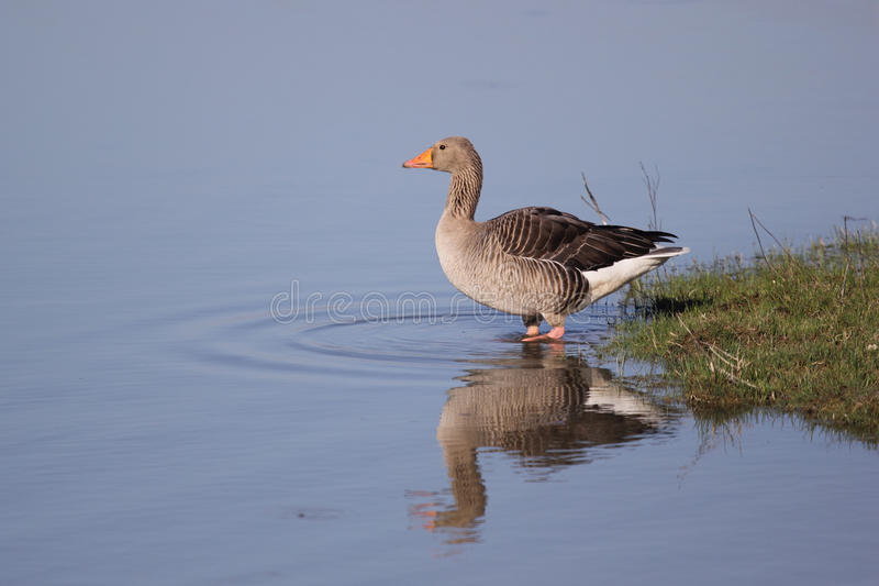 Download Greylag Goose stock photo. Image of wetland, greylag - 19198834