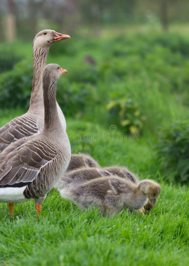 Download Greylag Goose stock photo. Image of nature, goose, standing - 24586262