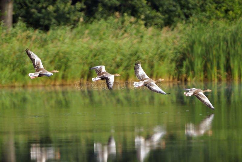 Download Greylag goose stock image. Image of blue, color, goose - 25965587
