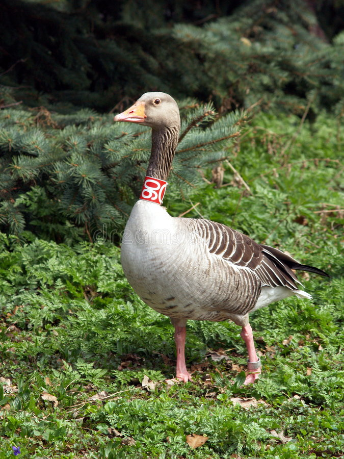 Download Greylag goose stock image. Image of looks, closeup, neck - 710625