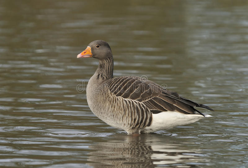 Greylag Goose - Anser anser royalty free stock image