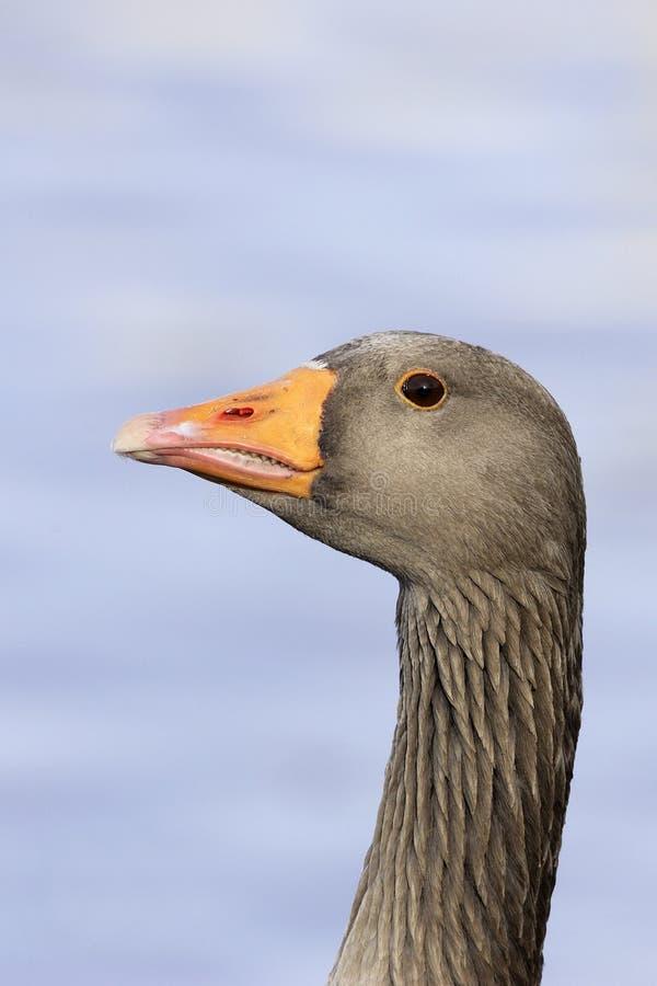 Download A Greylag Goose (Anser Anser) Stock Image - Image: 20777677