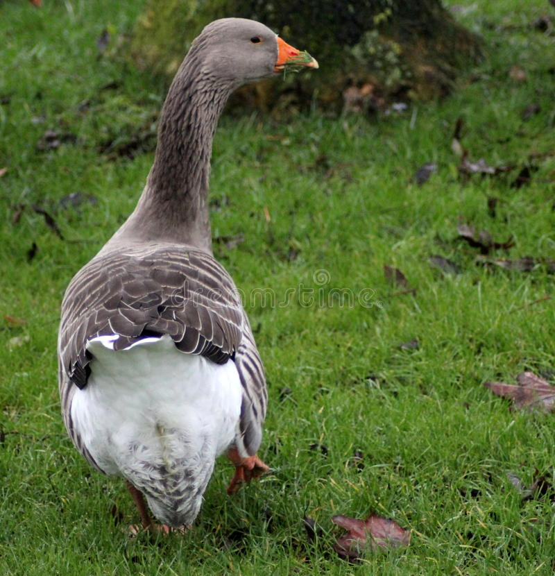 Greylag goose. Anser anser, eating grass by the lake royalty free stock images