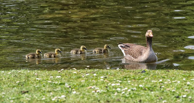 Greylag goose followed by a row of goslings Claremont, Surrey. stock photography