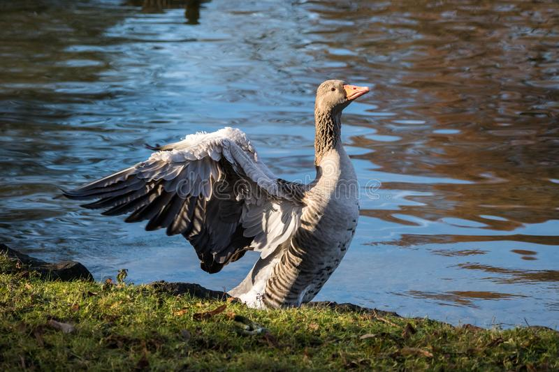 The greylag goose, Anser anser is a species of large goose stock photo