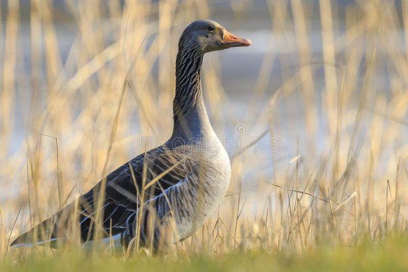 Greylag goose, Anser anser, resting in a meadow durng Springtime royalty free stock photo