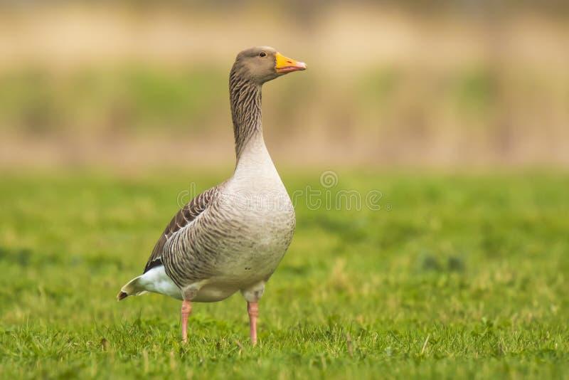 Greylag goose Anser Anser stock image