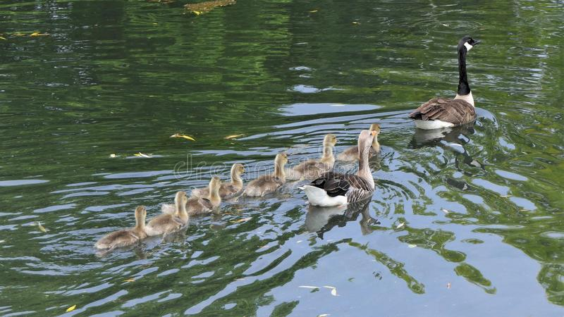 Geese family swimming stock images