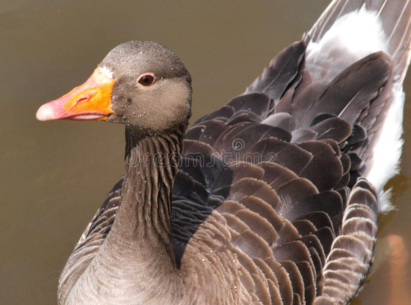 Greylag goose close up stock images