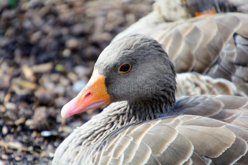 Greylag goose close up royalty free stock images