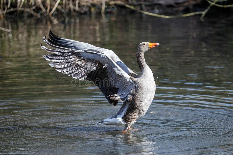 A Greylag goose drying its wings stock photo