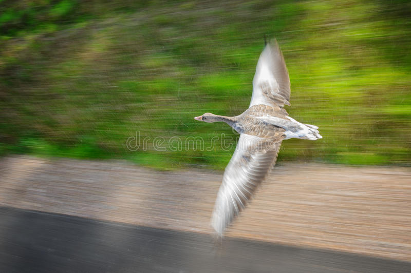 Greylag goose in fast flying speed stock image