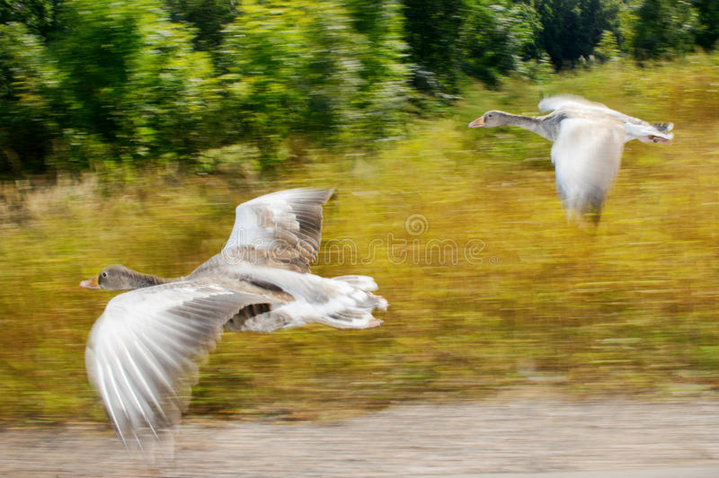 Greylag goose in fast flying speed stock photos
