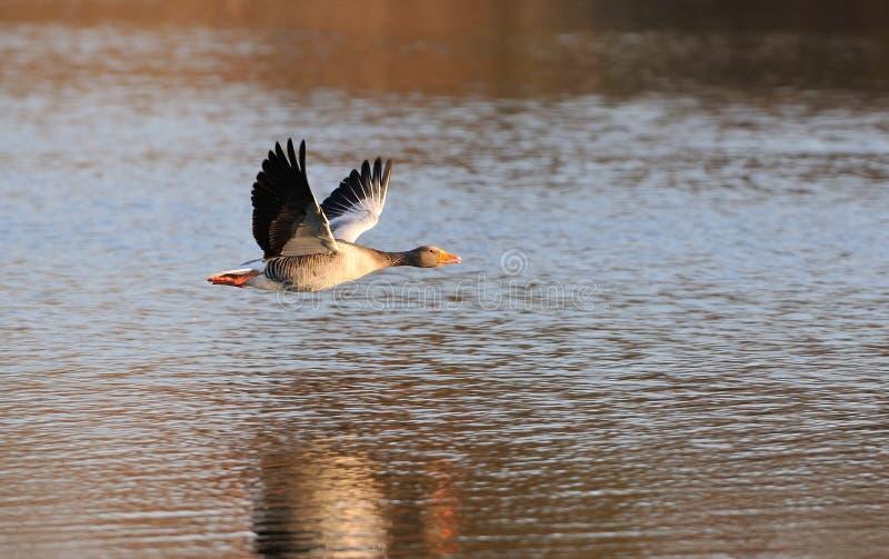 Greylag Goose in flight royalty free stock photo