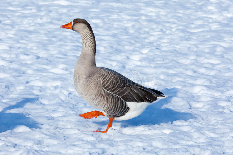 Greylag Goose - Goose Step stock images