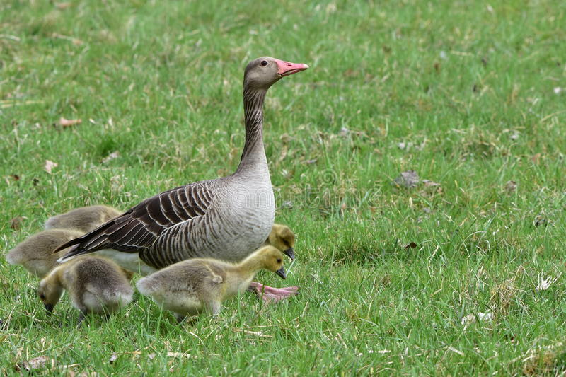 Greylag goose with its chicks royalty free stock photo