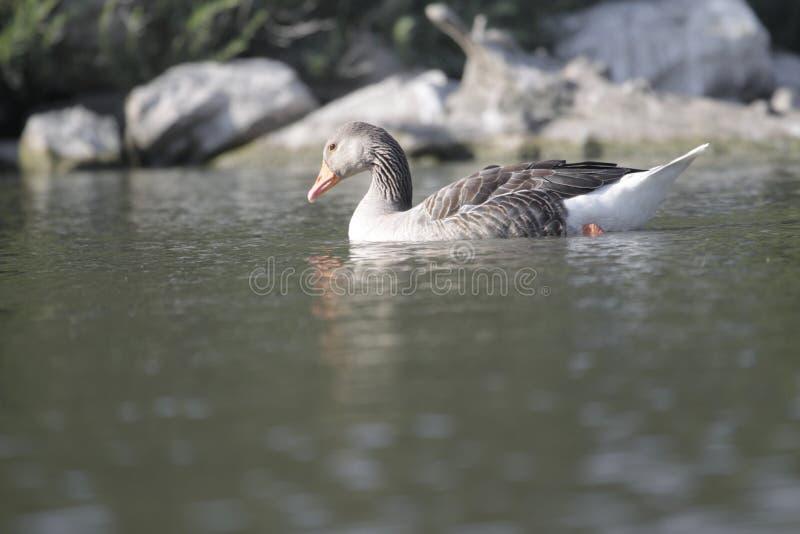 Download Greylag goose stock image. Image of goose, france, greylag - 32145215