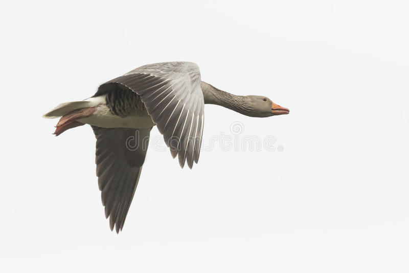 Greylag goose migrating royalty free stock photos