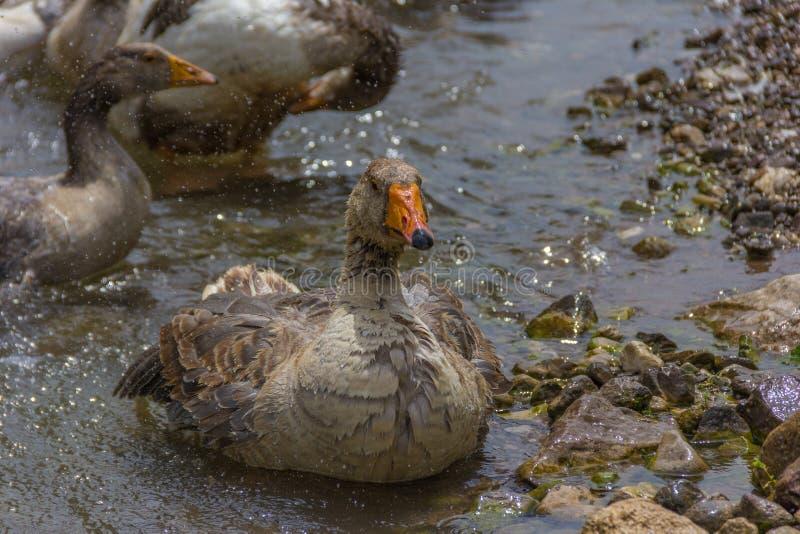 Greylag goose preening and splashing in the water stock photos